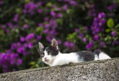 Zwart-witte kat in de tuin met purpere bloemen Royalty-vrije Stock Afbeeldingen