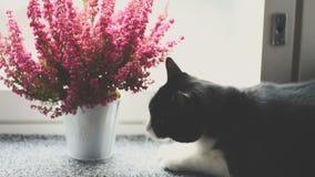 Zwart-witte kat die een installatie eten stock videobeelden