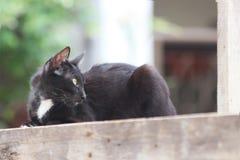 Zwart-witte kat die op het vierkante hout bepalen een klein geacclimatiseerd vleesetend zoogdier met zacht bont stock foto