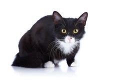 Zwart-witte kat met gele ogen. Stock Afbeelding