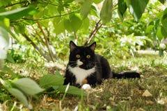 Zwart-witte kat met gele ogen op een gras onder de boom Stock Afbeelding