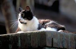 Zwart-witte Kat op een Bakstenen muur Royalty-vrije Stock Foto