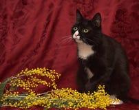 Zwart-witte kat op een rode achtergrond Royalty-vrije Stock Afbeelding