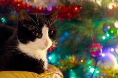Zwart-witte kat vooruit een boom van de Kerstmispijnboom Royalty-vrije Stock Foto