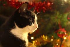 Zwart-witte kat vooruit een boom van de Kerstmispijnboom Stock Foto's