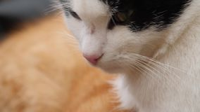 Zwart-witte katten dichte omhooggaand stock footage