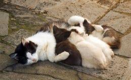 Zwart-witte katten voedende katjes Stock Foto