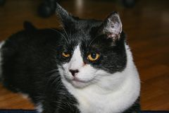 Zwart-witte kattenclose-up, die op de vloer leggen royalty-vrije stock afbeelding