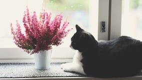 Zwart-witte kattenwas bij het venster stock footage