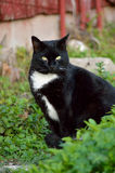 Zwart-witte kattenzitting Royalty-vrije Stock Afbeelding