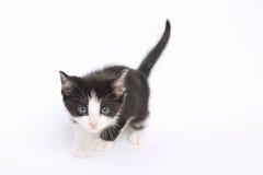Zwart-witte Kitten Stalking Stock Afbeelding