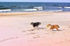 Zwart-witte kleine sheltiehonden die op strand, het lopen, het werpen, het vangen, dragende bal spelen stock fotografie
