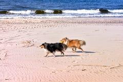 Zwart-witte kleine sheltiehonden die op strand, het lopen, het werpen, het vangen, dragende bal spelen Royalty-vrije Stock Afbeeldingen