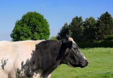 Zwart-witte koe Stock Afbeeldingen