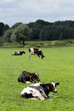 Zwart-witte koe stock fotografie