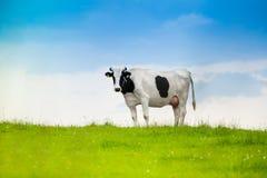 Zwart-witte koe Stock Afbeelding