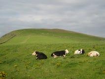 Zwart-witte koeien op een heuvel in Ierland Stock Foto's