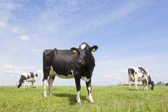Zwart-witte koeien in weide in Nederland met blauwe hemel Stock Afbeeldingen