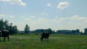 Zwart-witte koeiendepasture op het gebied niet verre van het landbouwbedrijf en eet gras in de zomer Een kudde van koeien weidt b stock video