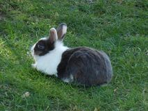Zwart-witte konijnzitting op een groen gras Stad Budva, Montenegro royalty-vrije stock foto's