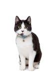 Zwart-witte korte haired kat royalty-vrije stock afbeeldingen