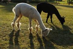 Zwart-witte lama's bij het groene gras royalty-vrije stock afbeelding