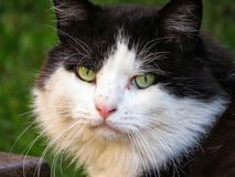 Zwart-witte Langharige Cat Looking With Beautiful Green-Ogen royalty-vrije stock afbeeldingen