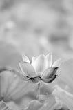 Zwart-witte lotusbloem stock afbeeldingen