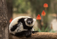 Zwart-witte maki op een tak royalty-vrije stock afbeeldingen