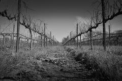 Zwart-witte Mening onderaan Rij van Wijnstokken Stock Afbeelding