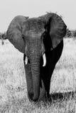 Zwart-witte olifant Stock Fotografie