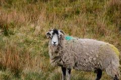 Zwart-witte Ooi op een Gebied in de Dallen van Yorkshire royalty-vrije stock foto's