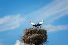 Zwart-witte ooievaars in nest op blauwe hemelachtergrond Royalty-vrije Stock Afbeeldingen