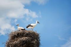 Zwart-witte ooievaars in nest op blauwe hemelachtergrond Stock Foto