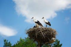 Zwart-witte ooievaars in nest op blauwe hemelachtergrond Royalty-vrije Stock Fotografie
