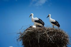 Zwart-witte ooievaars in nest op blauwe hemelachtergrond Royalty-vrije Stock Foto
