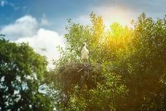 Zwart-witte ooievaars in nest op blauwe hemelachtergrond Stock Afbeelding