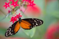 zwart-witte oranje die vlinder op een roze bloem wordt gesteld royalty-vrije stock afbeelding