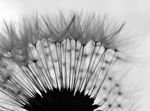 Zwart-witte paardebloem abstracte close-up Stock Foto's