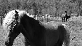 Zwart-witte paarden Stock Foto