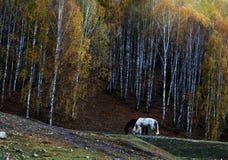 Zwart-witte paarden die naast een bos eten Stock Foto's