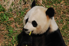 Zwart-witte Panda Bear Eating Green Bamboo-Spruiten royalty-vrije stock afbeelding