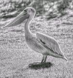 Zwart-witte pelikaan Stock Afbeelding