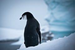 Zwart-witte pinguïn royalty-vrije stock fotografie
