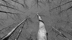 Zwart-witte platanusbomen stock foto