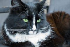 Zwart-witte pluizige kat Royalty-vrije Stock Fotografie