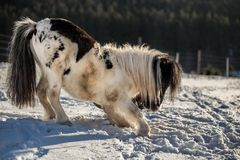 Zwart-witte poneystokvoering in de sneeuw royalty-vrije stock fotografie