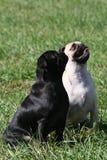 Zwart-witte pug royalty-vrije stock afbeelding