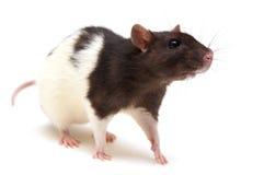 Zwart-witte rat Stock Foto