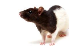 Zwart-witte rat Royalty-vrije Stock Afbeeldingen